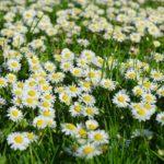 daisy-324403_1920